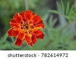 marigolds. tagetes. garden.... | Shutterstock . vector #782614972