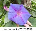 purple morning glory with water ... | Shutterstock . vector #782657782