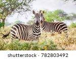 wild zebras on savanna  kenya ... | Shutterstock . vector #782803492
