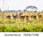 impala antelopes watchfully... | Shutterstock . vector #782817298