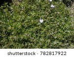 green leaves  violet buds and... | Shutterstock . vector #782817922