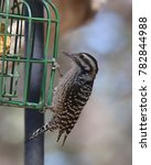 Ladder Backed Woodpecker ...