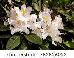 cunninghams white rhododendron  ... | Shutterstock . vector #782856052
