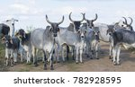 Herd Of Zebu Cattle