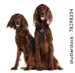 Two Irish Setters Sitting In...