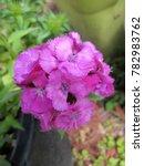 dianthus barbatus are clump... | Shutterstock . vector #782983762