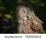 portrait with the great grey... | Shutterstock . vector #783003622