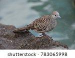 a zebra dove | Shutterstock . vector #783065998