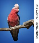 the galah  also known as the... | Shutterstock . vector #783095512