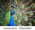 brace   beautiful peacock at... | Shutterstock . vector #783102802