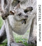 Stock photo baby kangaroo and his mother at park new south wales australia 783116842