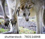 baby kangaroo and his mother at ... | Shutterstock . vector #783116848