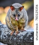 The Common Brushtail Possum Is...