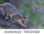 The Common Brushtail Possum Is...