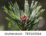 a twig of pine with raindrops   Shutterstock . vector #783163366