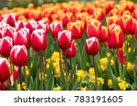 Colorful Tulips And Daffodils ...