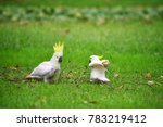yellow crested cockatoo at... | Shutterstock . vector #783219412
