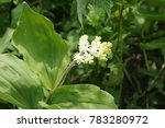 Small photo of Bush smilacina hairy with white flowers on the spring meadow