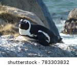 African Penguin Relaxing On Th...