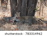 Leopard With Monitor Lizard...