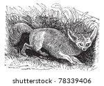 bat eared fox or otocyon... | Shutterstock .eps vector #78339406