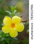 Small photo of Allamanda cathartica flower with raindrops