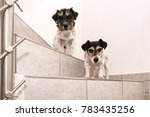 two tricolor jack russell...