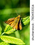 Small photo of Skipper butterfly (Hesperiidae) sitting on leaf from above
