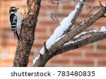 Downy Woodpecker Looking For...