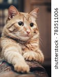 domestic ginger cat at home | Shutterstock . vector #783511006