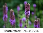 Small photo of Close Up of Purple Blazing Star also known as Gayfeather, Liatris spicata, Blooming in Selective Focus with More of the Perennial Stalk Flowers and Green Leaves in the Blurred Background
