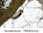 Downy Woodpecker Picks At A...