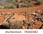 Desert Horned Lizard...