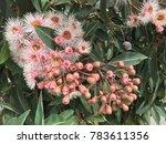 beautiful pink flowering gum... | Shutterstock . vector #783611356