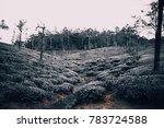 tea plantation in a cool hill... | Shutterstock . vector #783724588