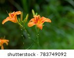 Wet Daylily  Orange Yellow...