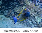 Small photo of Portrait of a Pencil surgeonfish (Acanthurus dussumieri) swimming in a coral reef.