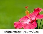 red hibiscus tropical flower ... | Shutterstock . vector #783792928