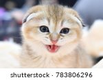 Stock photo a scottish fold kitten 783806296