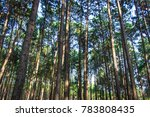 groups and rows of pine trees... | Shutterstock . vector #783808435