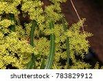 Searsia Lancea  Karee Tree ...