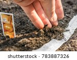 onions are planted in the... | Shutterstock . vector #783887326