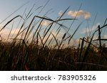 reed blowing in the wind | Shutterstock . vector #783905326