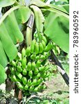 """Small photo of Musa, AAA group """"Kluai Hom thong"""" (Gros Michel, Banana); The raw greenish fruits on tree. Clinging together on a big & strong bunch. bent to ground due to the weight of fruits. Covered by green leaves"""