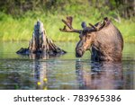 Bull moose chewing on the lily pads in the shallow water in Lake Opeongo, Algonquin Park, Ontario, Canada.