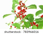 Small photo of Isolated Ilex opaca, the American holly