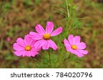 pink cosmos flower abstract | Shutterstock . vector #784020796