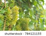 bird protection net on wine...   Shutterstock . vector #784121155
