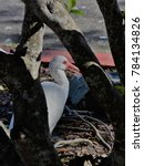 Small photo of American White Ibis Behind Tree Limbs