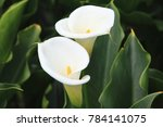 Calla Lily Beautiful White...